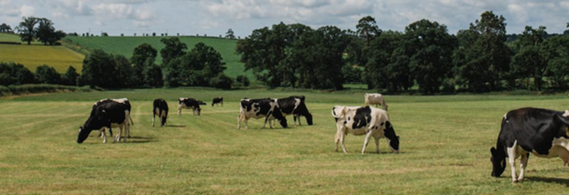 Cows in field (2).full